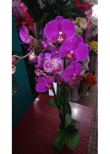 Orkide-7