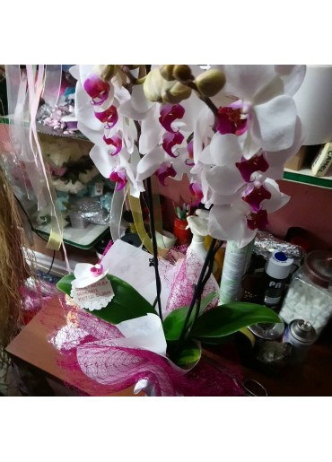 Orkide-6