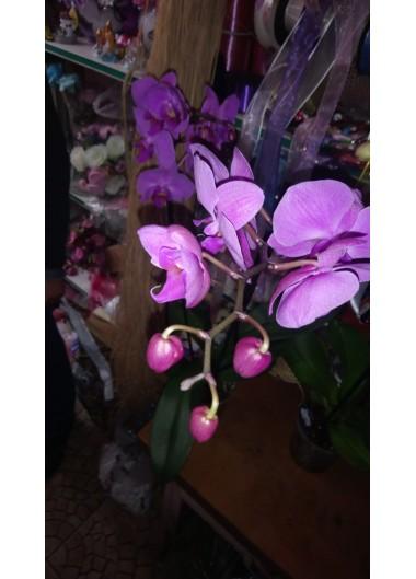 Orkide-9