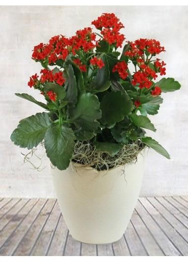 Saksı Çiçeği Kalanchoe