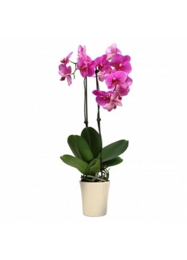 Orkide-15